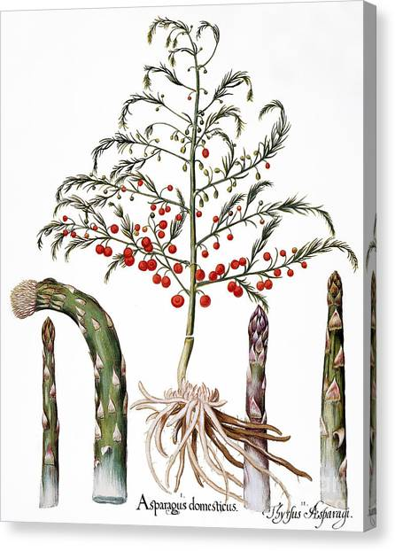 Asparagus Canvas Print - Botany: Asparagus, 1613 by Granger