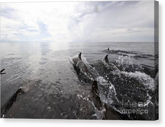 Bottlenose Dolphins Canvas Print - Bottle Nose Dolphins Breach by Terry Moore