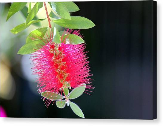 Bottlebrush Nectar Canvas Print