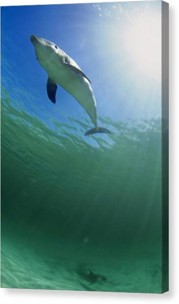 Bottlenose Dolphins Canvas Print - Bottlenose Dolphin by Louise Murray