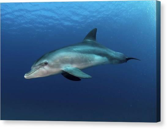 Bottlenose Dolphins Canvas Print - Bottlenose Dolphin by Photostock-israel