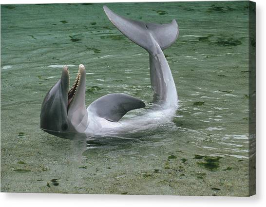 Bottlenose Dolphins Canvas Print - Bottlenose Dolphin Playing In Shallows by Flip Nicklin