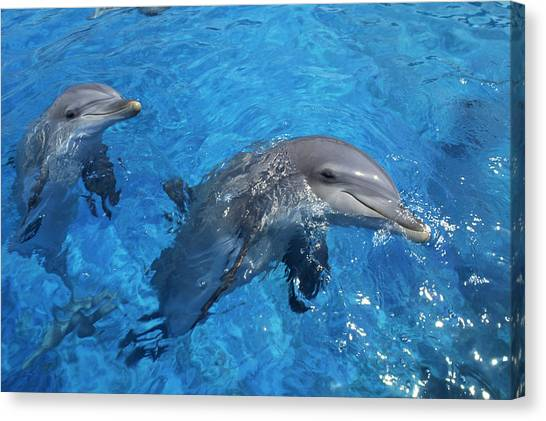 Bottlenose Dolphins Canvas Print - Bottlenose Dolphins by Alexis Rosenfeld