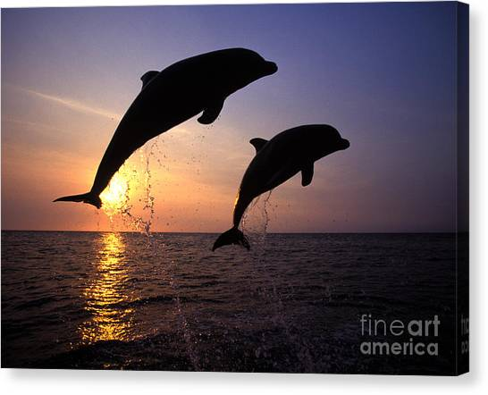 Dolphins Canvas Print - Bottlenose Dolphins by Francois Gohier and Photo Researchers
