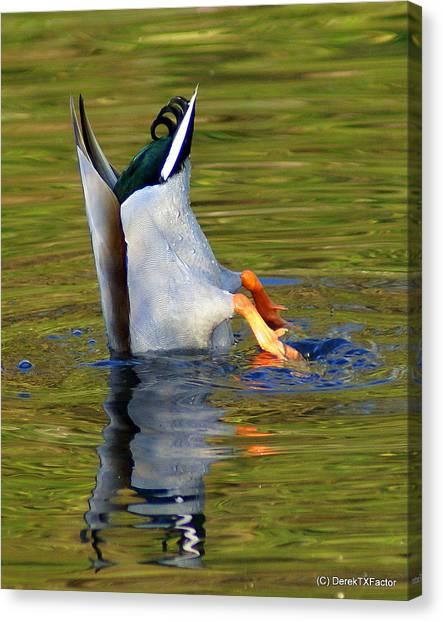 Bottoms Up Mallard Canvas Print by DerekTXFactor Creative