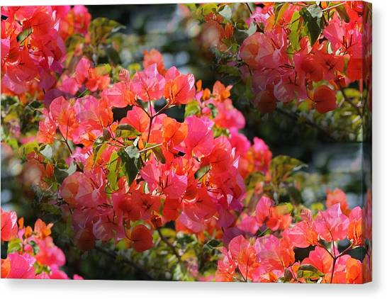 Bougainvillea 'alabama Sunset 1 Canvas Print