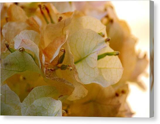 Bougainvillea Memory Canvas Print