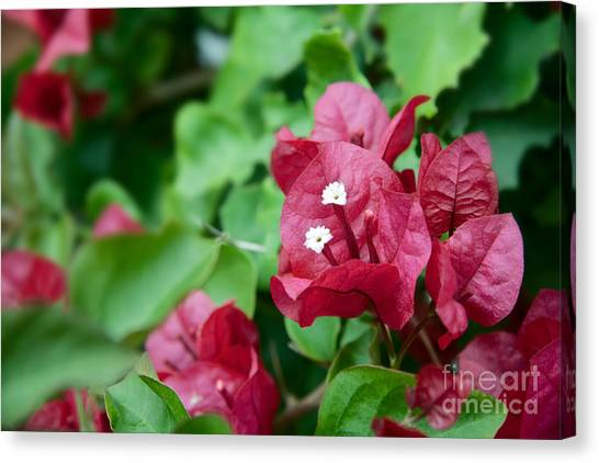 Bougainvillea San Diego Vibrant Red Flowers Closeup  Canvas Print by Sherry  Curry