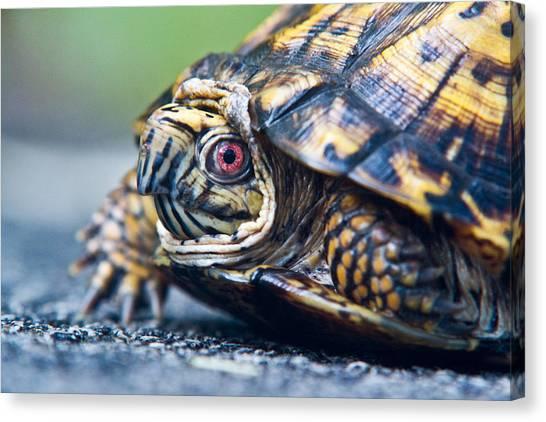 Box Turtles Canvas Print - Box Turtle 1 by Douglas Barnett