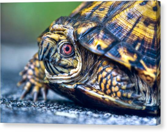 Box Turtles Canvas Print - Box Turtle Up Close And Personal by Douglas Barnett