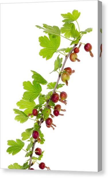 Branch Of Prickly Gooseberry Canvas Print by Aleksandr Volkov