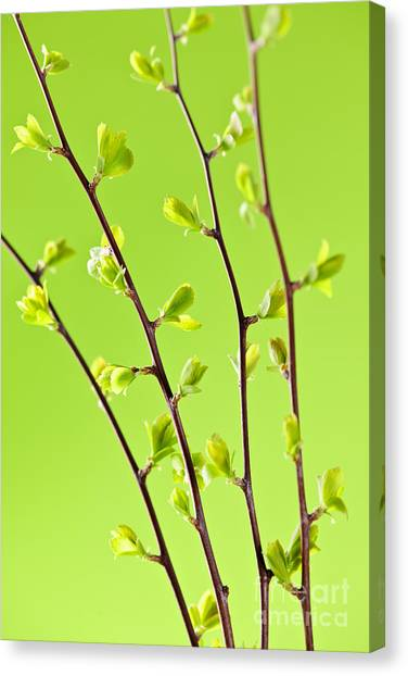 Rebirth Canvas Print - Branches With Green Spring Leaves by Elena Elisseeva