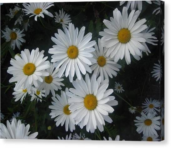 Bright Eyed Daisys Canvas Print