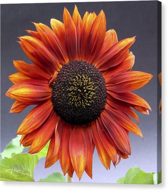 Bright Intense Sunflower Canvas Print by Joshua Miller