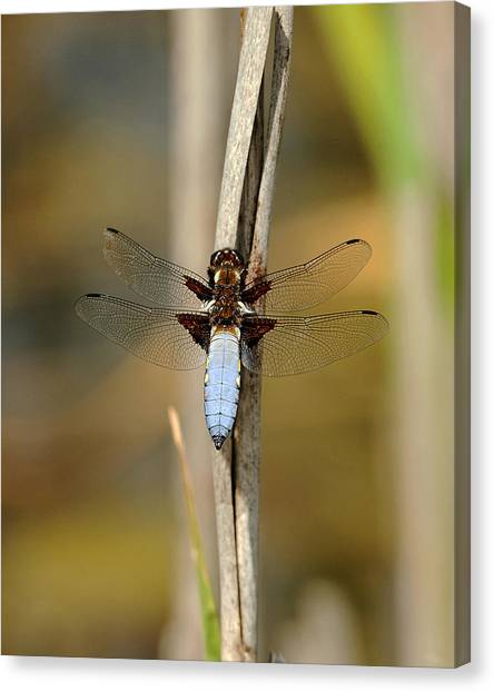 Broad Bodied Chaser Canvas Print by Paul Scoullar
