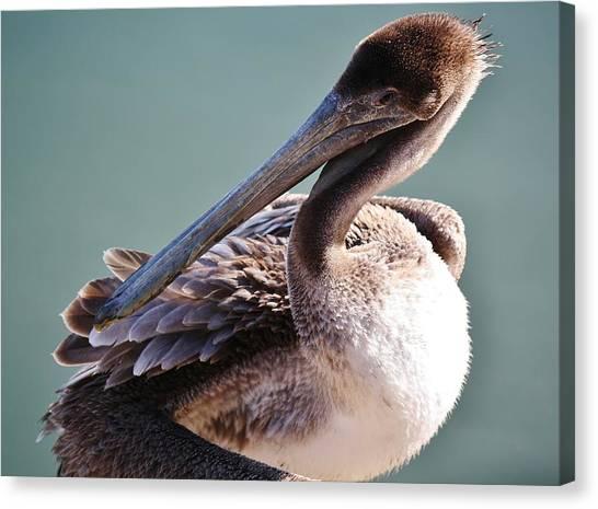Browm Pelican Up Close Canvas Print by Paulette Thomas