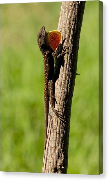 Brown Anole Displaying Canvas Print