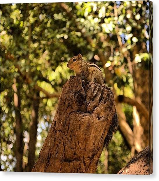 Squirrels Canvas Print - #brown #bahrain #q8 #ksa #tree #trees by Ahmed Ali