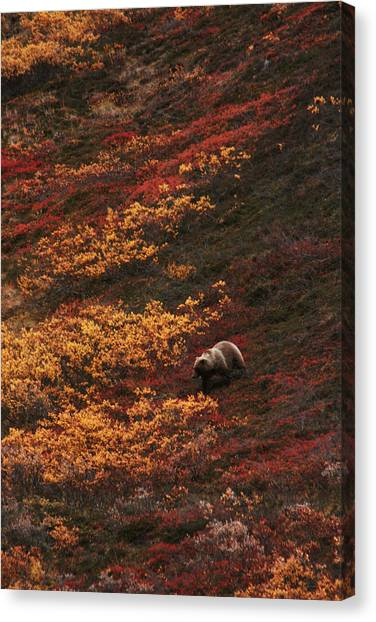Brown Bear Denali National Park Canvas Print