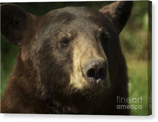 Brown Bear Canvas Print by Jenny May