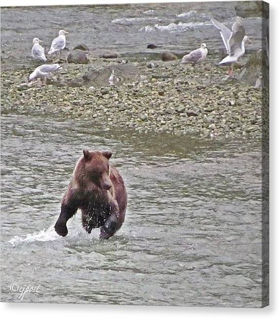 Salmon Canvas Print - Brown Bear Salmon Fishing Sept 3. 1/3 by Cynthia Post