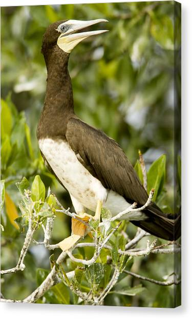 Mangrove Trees Canvas Print - Brown Booby Sula Leucogaster by Tim Laman