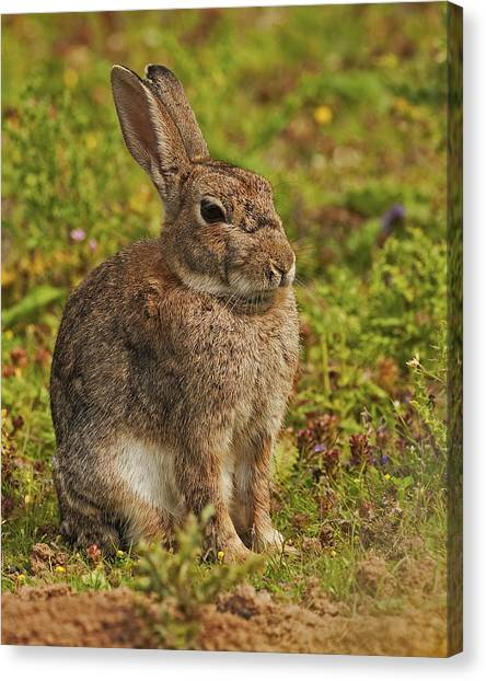 Brown Hare Canvas Print by Paul Scoullar