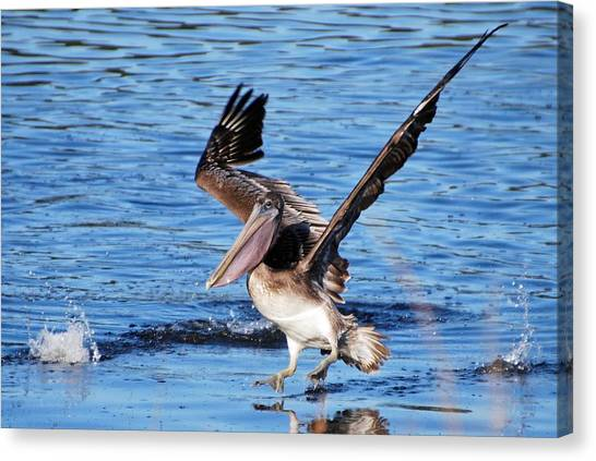 Brown Pelican Landing Canvas Print