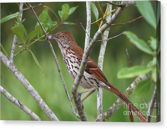 Brown Thrasher Snacking Canvas Print