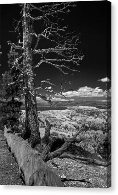 Bryce Canyon - Dead Tree Black And White Canvas Print
