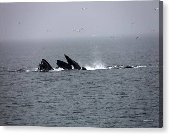 Bubble Netting Whales In Alaska Canvas Print