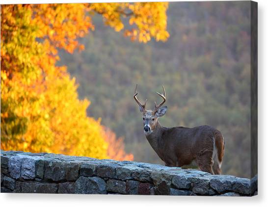 Antlers Canvas Print - Buck In The Fall 08 by Metro DC Photography
