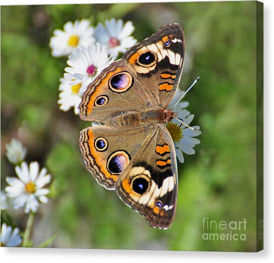 Buckeye Butterfly Canvas Print