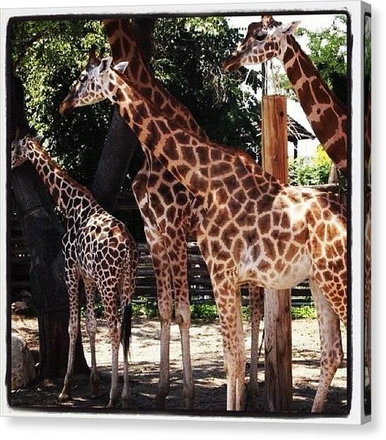 Giraffes Canvas Print - Budapest Zoo by Laurainbudapest Greenwood