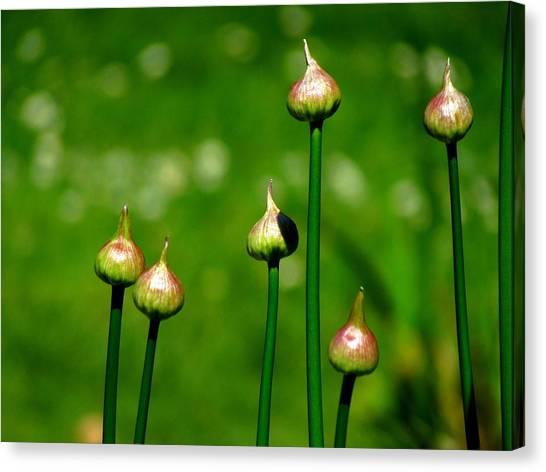 Budding Allium Canvas Print