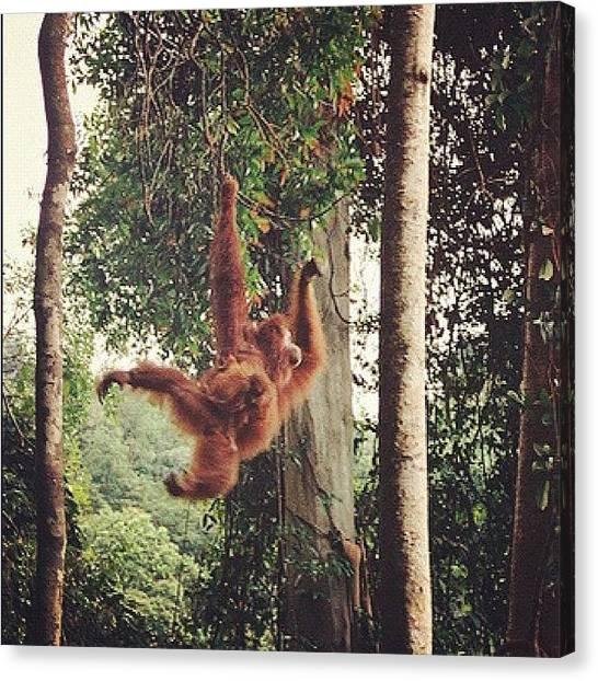 Apes Canvas Print - #bukitlawang #ape #orangoutang by Ronan Ar Berr