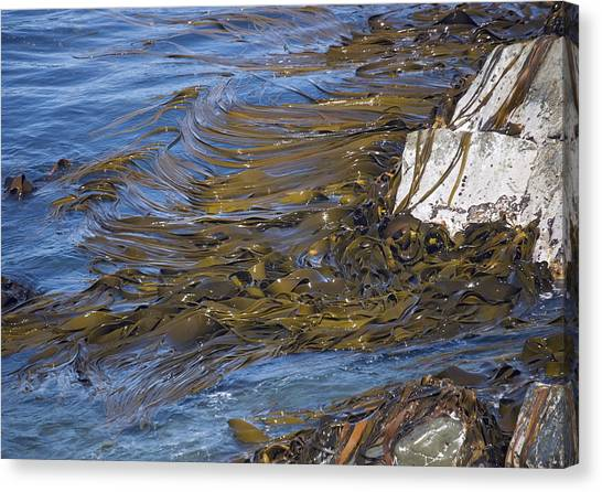 Bull Kelp Bed Canvas Print by Bob Gibbons