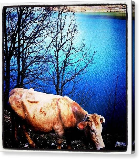 Greece Canvas Print - Bull by Seras S