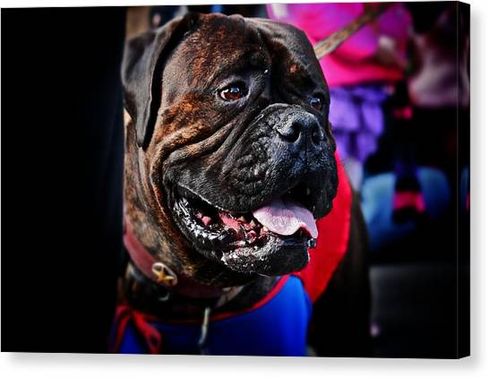 Bulldog At Barkus Parade 2 Canvas Print
