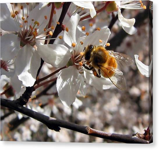 Bumble Bee On A Cherry Blossom Canvas Print