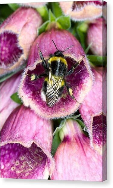 Foxglove Flowers Canvas Print - Bumblebee And Foxglove Hybrid by Dr Jeremy Burgess