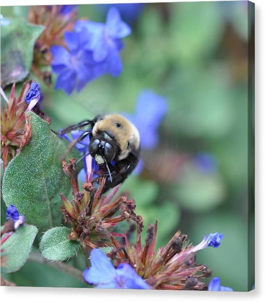 Bumblebee In Plumbago Larpentae Canvas Print