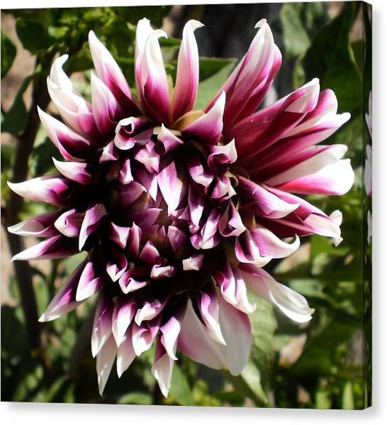 Burgundy And White Dahlia Canvas Print by D J Larsen