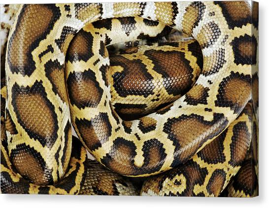 Burmese Pythons Canvas Print - Burmese Python, Close Up, Overhead View, Studio Shot by Martin Harvey