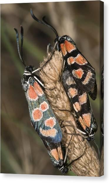 Burnet Moths Mating Canvas Print by Paul Harcourt Davies