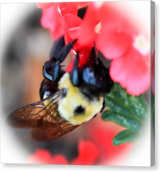 Busy Bee Canvas Print by Maureen  McDonald