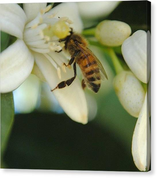 Orange Tree Canvas Print - Busy Bees by Jennifer Riffey