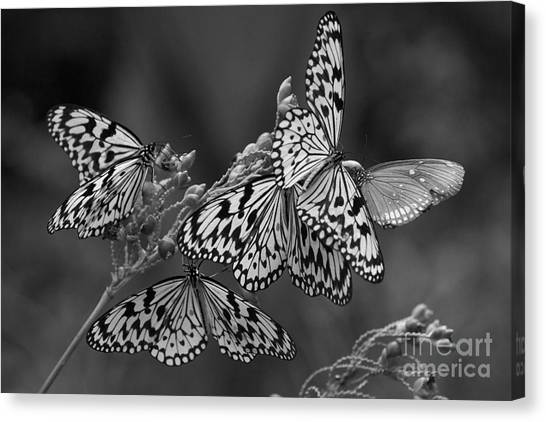 Butter Flies  Canvas Print