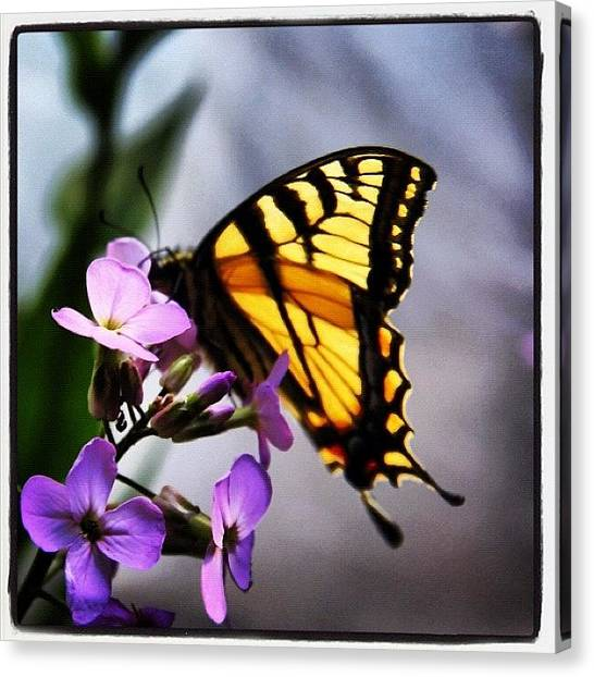 Maine Canvas Print - Butterfly by Amity Beane