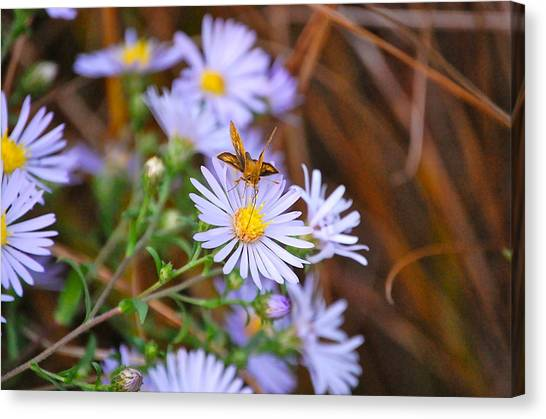 Butterfly And Aster Canvas Print